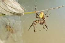 Makrofotografie, Makro, Spinnen /  Macro photography, Spiders