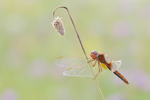 Makrofotografie von Libellen /  Macro photography of dragonflies