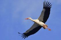 Vogelfotografie von Störchen / Bird photography, storks