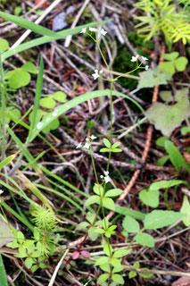 beim Aufstieg in Richtung Lehenkopf ist am Wegrand das Rundblättrige Labkraut (Galium rotundifolium) zu sehen