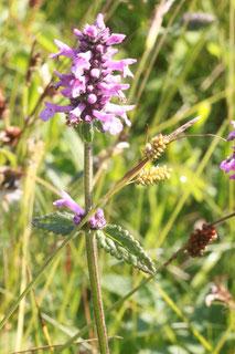 Heilziest (Betonica officinalis) zwischen Ittersbach und Pfinzweiler