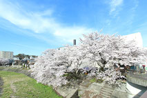 瑞浪市_山本さん家_土岐川の桜1