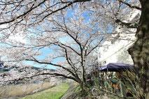 瑞浪市_山本さん家_土岐川の桜4