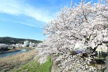 瑞浪市_山本さん家_土岐川の桜2