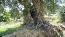 Weg durch mediterrane Landschaft, Olivenbäume, Zypressen