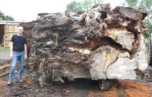 Kauri Wurzelholz für exklusive Designtische und ausgefallene Holztische, tausendjähriges Kauri Sumpfholz aus Neuseeland