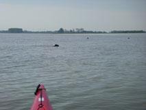 """""""Sealwatching"""" vor Wischhafen"""