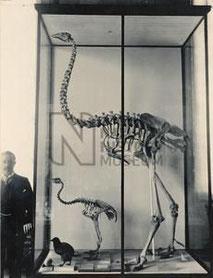 Ein Skelett des Giant Moa neben seinen Verwandten (Quelle: piclib.nhm.ac.uk)