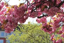 Japanische Kirchblüte in Berlin-Schöneberg. Foto: Helga Karl