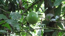 Eine Kalebasse frisch am Baum
