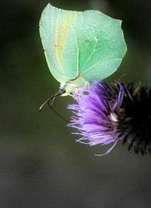 Les Cévennes en été. Papillon citron