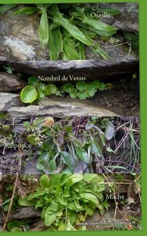 Salades sauvages de printemps. Oseille, Nombril de Venus, Raiponce, Mâche.