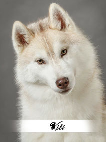 chienne husky cuivre roux