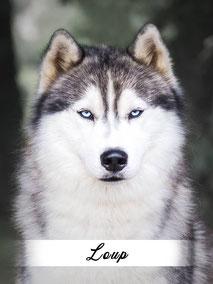 husky male gris yeux bleus