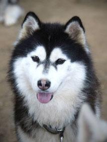 chienne husky noir blanc