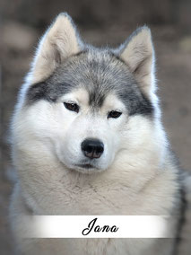 chienne husky gris loup