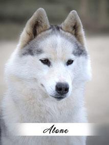 chienne husky blanche blanc
