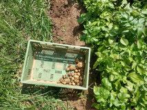 Da sind sie: die ersten Frühkartoffeln