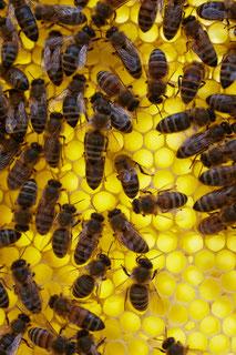 Bienen von Honigpflücker