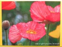 rosa Mohn, Karte
