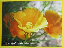 011 kalifornischer Mohn gelb