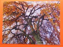 Hängebuche im Herbst