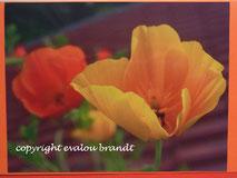 008 Kal. Mohn gelb, orange