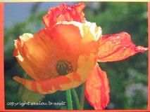 009 oranger Mohn