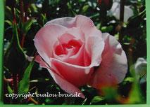013 Rose