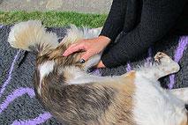 lymphdrainage für hunde