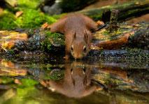 www.ronaldosephius.nl eekhoorn spiegel water drinken bewust groeien vanuit innerlijke kracht