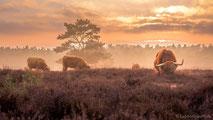 www.ronaldosephius.nl Bizons wilde buffels Heide avondzon Bewust groeien vanuit innerlijke kracht