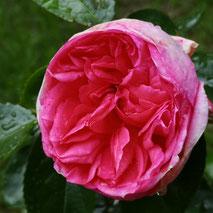 'La Rose de Molinard'