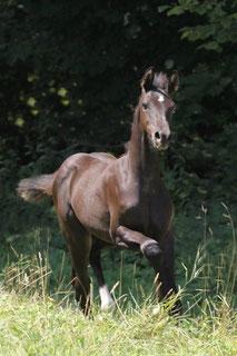 pferde, sportpferde, hannoveraner, zuchtstall, de luxe, bern