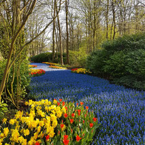 Keukenhof, the river of Muscari