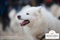 Großaufnahme Schlittenhund im Profil © ExperiArts Entertainment - Matthias Gründling