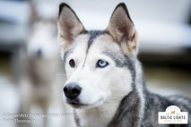 Aufmerksamer Husky im Musherdorf © ExperiArts Entertainment - Thomas Ix