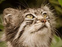 manul-gato-pallas