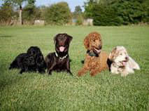 quatre chiens adultes couchés dans l'herbe par coach canin 16 educateur canin charente