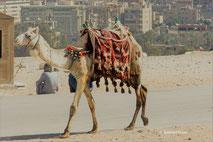 Delaus Reisen - Kamel