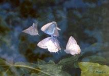 「ゼフィルスの夢」 雑誌アニマに1987年7月号に掲載された作品