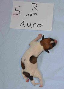 Rüde Auro
