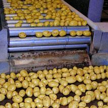 pommes de terre EARL Andreau Laprée Sarl des Estuaires Meursac producteur pomme de terre tomate Charente-Maritime consommateur exploitation agricole qualité