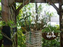 日本原産の蘭 石斛(せっこく)