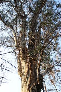 コアラのエサ「ユーカリ」の木