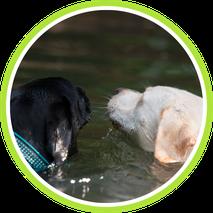Labrador, schwimmend, Hundeschule Taubert
