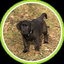 Labradorwelpe, Hundeschule Taubert