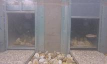 2-Kammern-Organismenwanderhilfe erster Fisch wandert