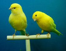 Kanarienvögel,  Bildquelle: Pixabay