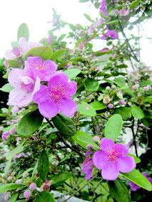 淡いピンク色の花を咲かせるテンニンカ=4日、石垣市真栄里の田中さん宅